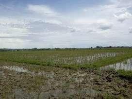 sawah padi 230/m dekat dengan jalan dan irigasi