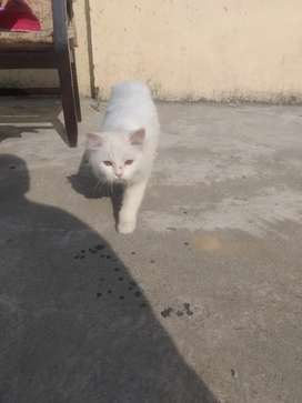 Elsa Triple Coated Female Cat