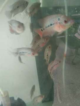 Flower horn fish , topa wadi machli, head fish
