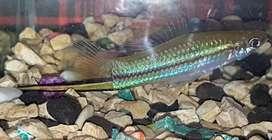 Ikan pedang / platy green swordtail