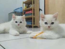Lepas adop kitten persia medium long hair