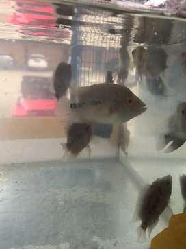 Ikan louhan murah lohan burayak murah jenong sehat jinak aktif progres