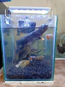 Aquarium mini guppy