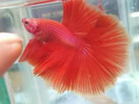 Cupang hias halfmoon red size M