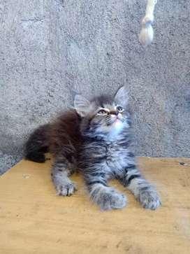 Kucing Persia Tabi