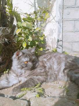 8 month female parison cat