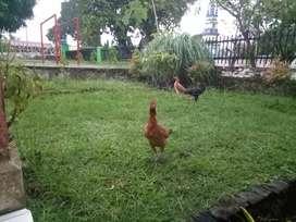 Ayam Kampung Betina