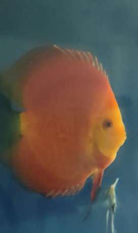 Discus Rm 5inc up Hb
