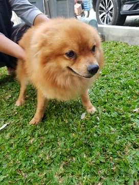 Di jual anjing minipom umur 1 tahun (area Balikpapan)