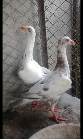 danish pathay pair age 6 months