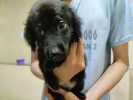 Ready TOY POODLE