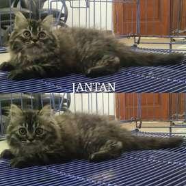 Kucing persia kitten jantan gembul