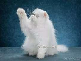 Cat kitten for sale