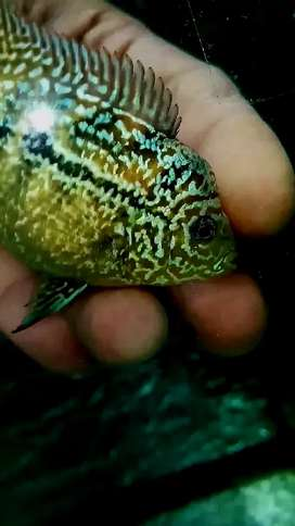 Ikan louhan kamfa f3 mata putih