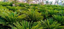 Kangi Palm top Quality 800 Plants Home delivery COD All over Pakistan