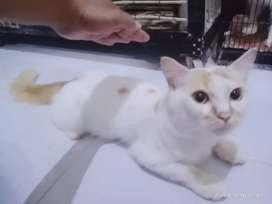 Kucing anggora ekor kemoceng satu paket 4 in 1
