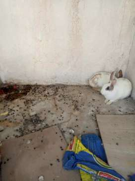Male rabits for sale