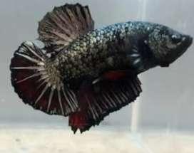 Ikan cupang black hitam