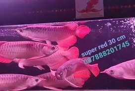 IKAN ARWANA SUPER RED PREMIUM QUALITY SIZE 30CM