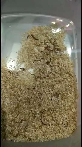 Live fish food meal worm each 2 rupee
