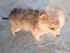 PISTA Female Age 1 month only serious buyers contact me.