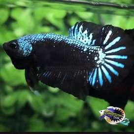 Ikan cupang hias berkualitas plakat Green Samurai