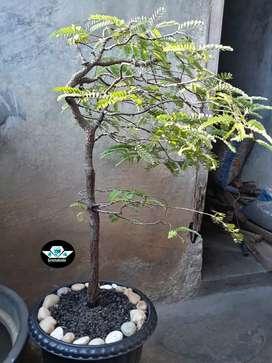 Bonsai Asem Jawa Gaya Tertiup Angin Fukinagashi Dari Biji Usia 7 Tahun
