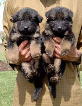Tap quality long coat black Mas Gsd pair for sale