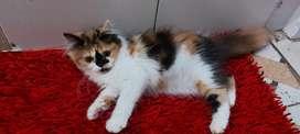 Kucing persia flatnose (betina)
