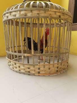 Dijual Ayam Jambe