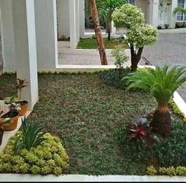 Jual rumput jepang atau gajah mini dan tanaman hias