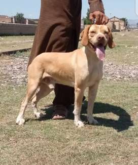 Pointer dog full shikar tarain gun male for sale