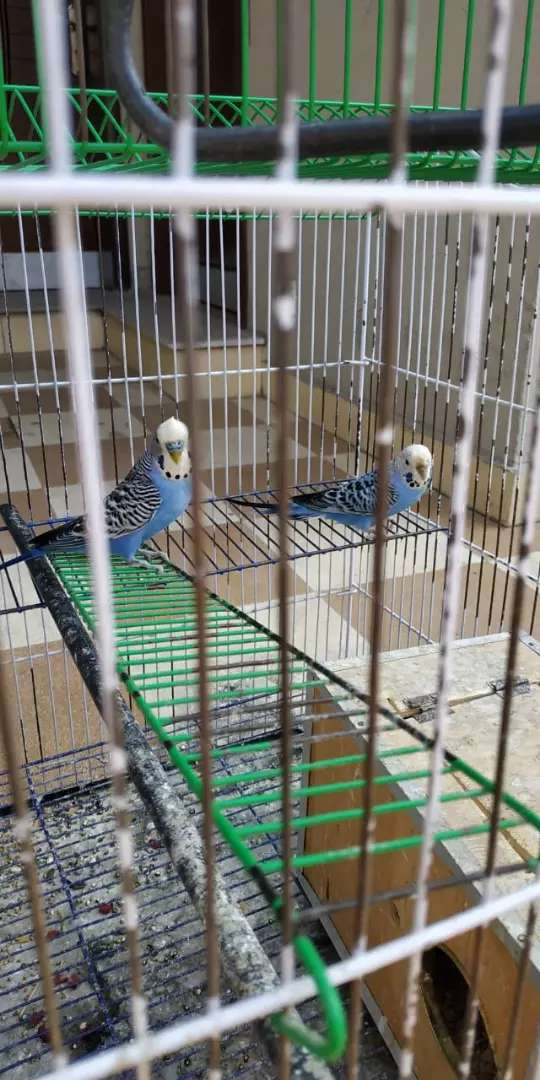 Australian fellow parrots blue colour 0