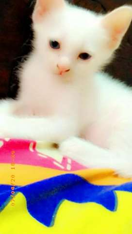 White Persian kitten double coated