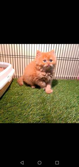punched face, triple coat male cat for sale