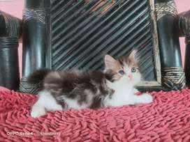 Kucing flatnose kitten