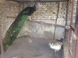 Peacock pair for sale in Rawalpindi