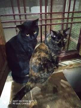 Cat Black and brown