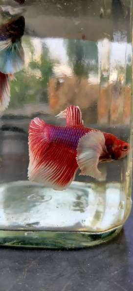 BETTA (Dumbo ear betta fish)