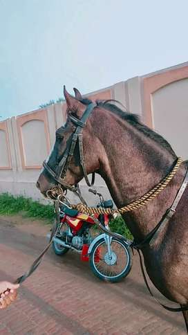 5 year old Mushka good height good for riding neza bazi