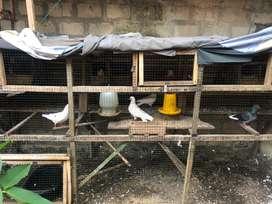 Burung Merpati warna putih dan abu