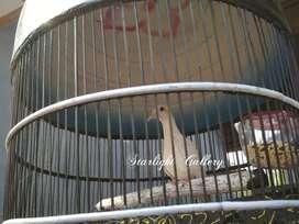 Burung Perkutut Putih Mata Merah