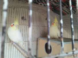 Breadr pair with 2eggs box and cage