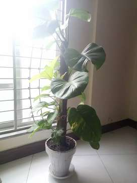 Money Plant Home and Office decoration