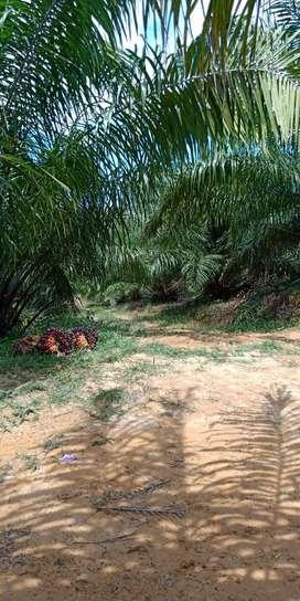Jual kebun kelapa sawit berproduksi usia 7-8 tahun