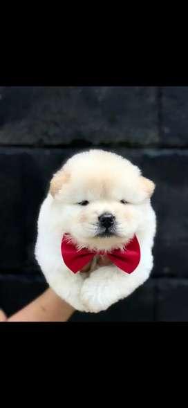 Chow2,shitzu,corgi puppys dan jenis lainnya