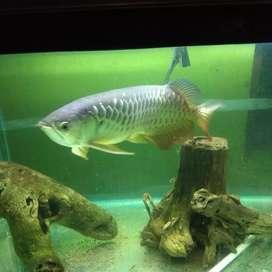 Ikan Arwana Golden Red Hb