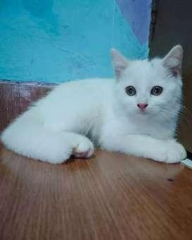 British short hair kitten betina