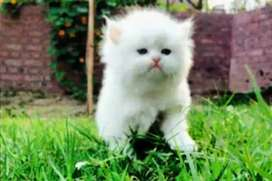 Persian extreme punched fur ball top quality blue eyes kittens availa