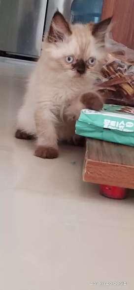 Kucing betina ragdoll mix himalaya